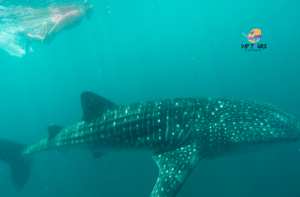 snorkelling mexico whale shark